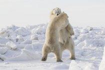Белых медведей спарринге — стоковое фото