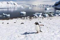 Gentoo пінгвін ходьба — стокове фото