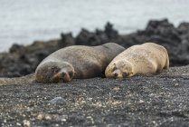 Due leoni marini delle Galapagos — Foto stock