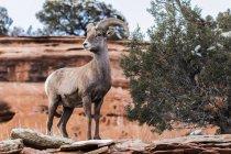 Desert Bighorn Sheep — стоковое фото