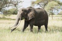 Large female elephant — Stock Photo