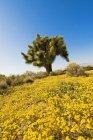 Joshua Tree, dans le désert de Mojave — Photo de stock