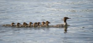 Canard et canetons natation — Photo de stock