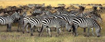 Burchell Zebras und Gnus — Stockfoto