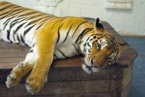 Resting Tiger at zoo — Stock Photo