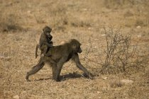 Baby Baboon Riding On Adult — Stock Photo
