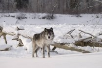 Wolf, stehend im Schnee — Stockfoto