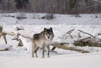 Loup debout dans la neige — Photo de stock