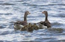 Famiglia delle oche sull'acqua — Foto stock