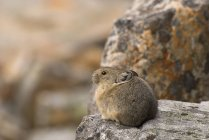 Pika sitting on rock — Stock Photo