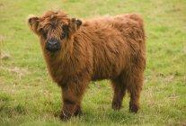 Highland Calf standing on grass — Stock Photo