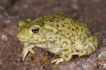 Sonoran Desert Toad — Stock Photo