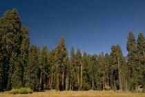 Sequoias do Parque Nacional de sequoias — Fotografia de Stock