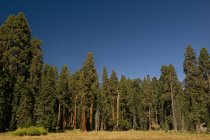 Sequoia Trees In Sequoia National Park — Stock Photo