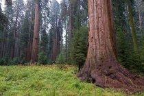 Деревья в Секвойя Национальный парк Секвойя — стоковое фото