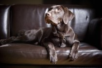 Schoko-Labrador-Retriever — Stockfoto
