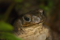Green Toad In Hiding — Stock Photo