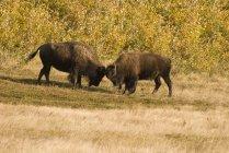 Bufali combattendo nel Parco nazionale di Waterton — Foto stock