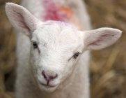 Ovelhas brancas — Fotografia de Stock