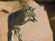 Gray Fox looking away — Stock Photo
