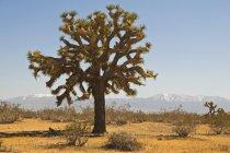 Дерево Джошуа в пустыне Мохаве — стоковое фото