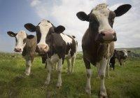 Pela gado pastando — Fotografia de Stock