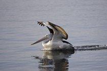 Австралійський Пелікан посадки на воду — стокове фото