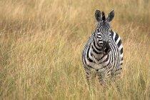 Zebra Берчелл в высокой траве — стоковое фото