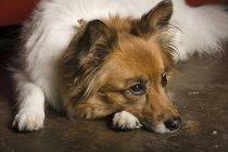 Собака лежит — стоковое фото