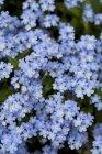 Fioritura fiori blu — Foto stock