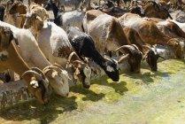 Chèvres eau potable — Photo de stock