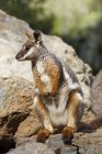 Yellow-Footed Rock Wallaby — Stock Photo