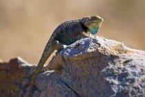 Proechimys lagarto macho deserto — Fotografia de Stock