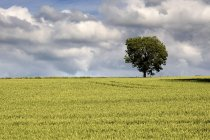 Campo de trigo y árbol - foto de stock