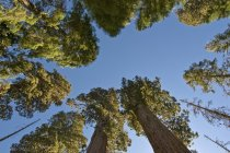 Sequoia Trees In Sequoia National Park — Stock Photo