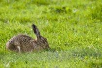 Lepre in erba verde — Foto stock