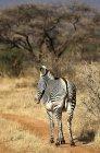 Grevy Зебра стоя на поле — стоковое фото