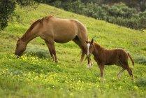 Лошадь и жеребенок, пасущихся на лугу — стоковое фото