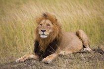 Лев, Масаи Мара Национальный заповедник — стоковое фото
