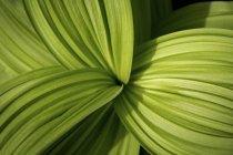 Листья медвежьей лилии — стоковое фото