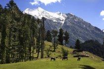 Видом зеленою травою поле з випасу корів і піки на тлі Lidderwat, Кашмір, Сполучені Штати Америки — стокове фото