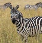 Zebra nell'erba alta — Foto stock