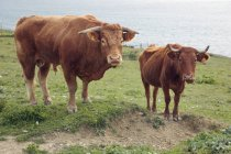 Bull And Cow near the water — Stock Photo