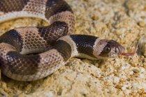 Cobra em cima de uma pedra com cheiro — Fotografia de Stock