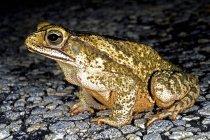 A Gulf Coast Toad — Stock Photo