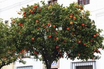Orange Tree against house — Stock Photo