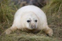 Phoque gris posé sur l'herbe verte — Photo de stock