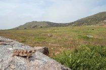 Узбережжя рогата ящірка гріється на Боулдер — стокове фото