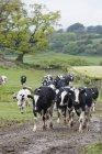 Rinderherde auf dem Land — Stockfoto