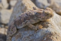 Lucertola cornuta del deserto — Foto stock